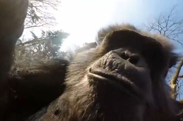 Chimpanzee-looks-into-camera-of-swatted-drone